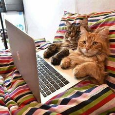 cute kitties telecommuting... my furrygirl needs a job like this!