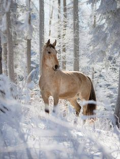 Beauty in the snow, Winter, horse, hest, trees, animal, beautiful, gorgeous, photo