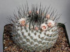 Mammillaria ritteri