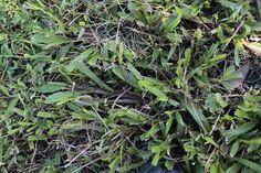 地毯草近拍,可以看出其葉片的寬大