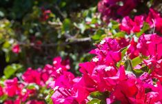 The bougainvillea were loving the day at Bataquitos Lagoon overlook! #flowers #socal #sandiego #photography