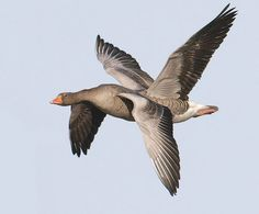 4-Winged Goose