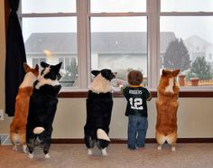 Corgis in the window. - Is that them? How about that blue one? Ooohh...here comes a big red one! Is that them?