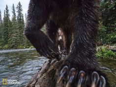 Salmon Claws by Peter Mather, 2016 National Geographic Nature Photographer of the Year A grizzly bear sow and cub use a fallen log to fish for chinook salmon on a small creek in Yukon Canada. The long, sharp claws of grizzly bears are perfect for filleting salmon. Image taken by a remote camera trap.