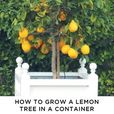 Learn how to grow meyer lemon trees in containers and control pests with organic methods!  via @https://www.pinterest.com/kincommunity/