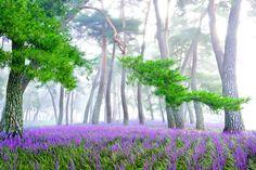 은은한 보랏빛을 내며 청초하게 피어난 맥문동이 아름다운 상주 맥문동솔숲