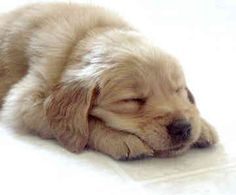 Golden Retrievers are the best doggies ever!