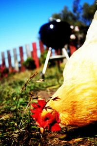 Raising organic chickens is key to clean eating and a healthy life. You are what you eat