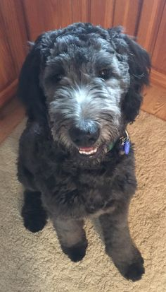 Blue goldendoodle is super rare. From the poodle side. So handsome. I can't wait to see how our special blue boy turns out. Goldendoodle Full Grown, Goldendoodle Black, Golden Doodle Dog, Golden Doodles, Double Doodle Puppies, Pet Parade, Labradoodles, Pool Noodles, Pet Stuff