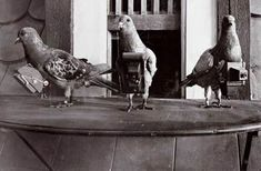 The Invention of the Pigeon Camera for Aerial Photography