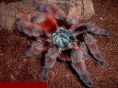 Avicularia versicolor - Antilles Pinktoe, adult.  Gorgeous fluffy guys, aren't they?