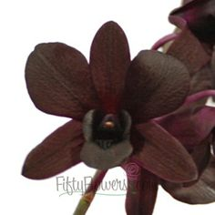 FiftyFlowers.com - Burgundy Black Dendrobium Orchids  available year round