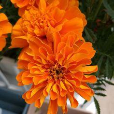 Phone camera goals. #huaweip9 #phonecamera #omfg #orange #summerflowers #nature #xeniadejadesubirfotosdeflorecillasporfavor