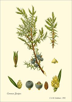 Baie De Genévrier.   Utilisée depuis des siècles en raison de ses propriétés purifiantes et antiseptiques, l'huile essentielle de baie de genévrier aide à purifier le corps et l'esprit. Elle aide à tonifier les peaux grasses et traiter les boutons, acné et eczéma. En aromathérapie, l'odeur boisée de l'huile essentielle de baie de génevrier s'utilise pour soulager le rhume, angoisse et nervosité.