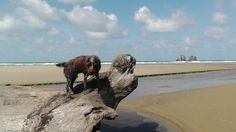Hugo always points in the right direction. That's what Wirehaired Pointing Griffons do.