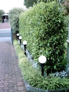 port wine magnolia hedge gardens - Google Search