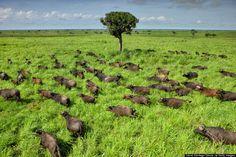 Democratic Republic of Congo(DRC)- African Cape Buffalo migrate seasonally to find fresh grazing territory.
