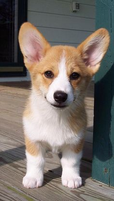Cute Welsh Corgi Puppy Pembroke Welsh Corgi & Facts, Pictures and Information & by Pets Planet. Source by The post Pembroke Welsh Corgi & Facts, Pictures and Information Cute Corgi Puppy, Cute Dogs And Puppies, Corgi Dog, Mini Corgi, Puppies Tips, Pembroke Welsh Corgi Puppies, Pomeranian Puppy, Puppy Goldendoodle, Puggle Puppies
