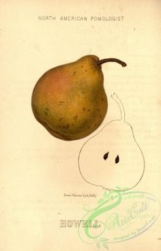 pear-00083 - Howell Pear [1882x2916] floral engravings Artscult wall blooming lithographs craft ArtsCult.com royalty Graphic century masterpiece pre-1923 beautiful naturalist decoration flower 300 dpi ornaments high Victorian Paper supplies illustration download clipart 1900s printable pack 18th Pictorial fabric Edwardian vintage 1800s picture plants 17th botany nature collection nice qulity art public instant flora scan flowers domain old pages 1700s books ArtsCult collage scrapbooking…