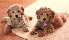 these two golden doodles might grow up to be toooo poodle-ish