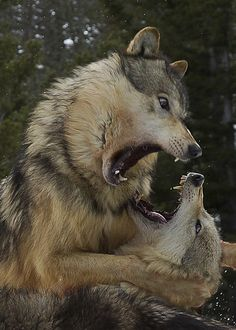 Wolves and a minor altercation ! - This was a short sharp scrap over dominance…