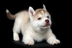 Siberian Husky Puppy - it's hard to hold in all that energy