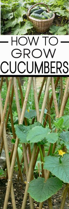 Learn how to grow cucumbers correctly!