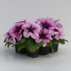 200 Pelleted Prism Rasberry Sundae Petunia Seeds BULK PETUNIA SEEDS #PetuniaSeeds