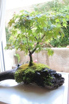 Gardens Lovers - A Bonsai set on a piece of drift wood