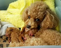 Poodle and her pups