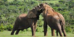 Elephants  #wildlifewednesday