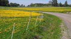 """Voikukkapelto kukkii - kesä tulee! ©Matti Harju: """"Voikukkapelto Liikkalassa, Kymenlaaksossa."""""""
