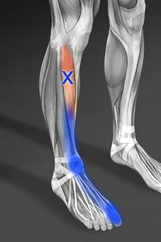 Muscle for this week:  Tibialis Anterior.....this one is for all of you that have suffered from shin splints.
