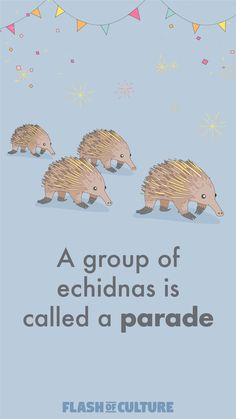 Another weird collective noun today, did you know a group of echidnas is a called a parade? A pretty ironic name for a shy and very antisocial animal don't you think? Australia Fun Facts, Australia Animals, Australia Day, Fun Facts For Kids, Fun Fact Friday, Collective Nouns, Time Kids, Australian Birds, Animal Facts