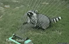 Funny pictures about Listen to my water harp. Oh, and cool pics about Listen to my water harp. Also, Listen to my water harp. Baby Raccoon, Cute Raccoon, Funny Animals, Cute Animals, Crazy Animals, Wild Animals, Farm Animals, Pandas Playing, Photos On Facebook
