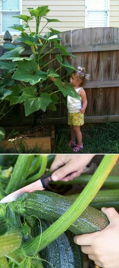 to Grow Zucchini Vertically Growing squash and zucchini plants vertically. Great for a small space!Growing squash and zucchini plants vertically. Great for a small space!