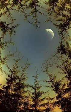 Looking up at the moon thru the trees