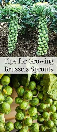 24. Thanks to their vertically growing habit, brussels sprouts can be a suitable addition of a space-saving container garden.