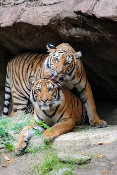 Malayan tiger brothers Christopher and Connor.
