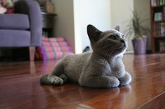 blue burmese kitten