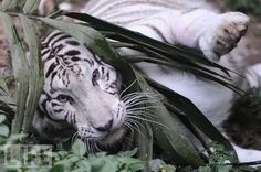 What's Black and White and Cute All Over?  A white tiger plays with a plant at the zoo in Sao Paulo, Brazil.