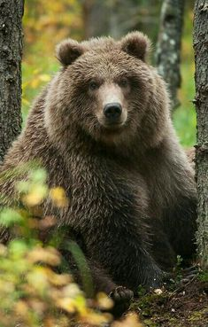 Big Beauty Grizzly Bear!