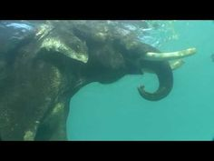 Elephants swimming - this is what I think about to make sure I have good dreams!