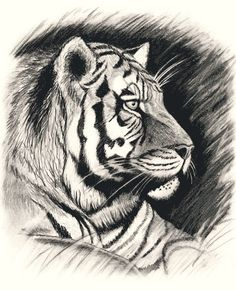 Items similar to Tiger Blank All Occasion Greeting Card, 5 x 7 inches, can be framed on Etsy Tiger Sketch, Tiger Drawing, Tiger Art, Drawing S, Animal Sketches, Animal Drawings, Pencil Drawings, Art Drawings, Birthday Greeting Cards