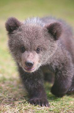 Baby Bear Cub walks up to the Camera for a closer look ... so precious - but, where's Mama bear?