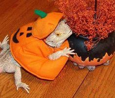 Halloween Pet Costume...love this Bearded Dragon Halloween costume ...