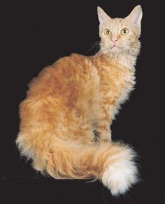 The LaPerm can sport anything from a wavy coat to ringlettype curls that range from tight ringlets to long corkscrew curls. Exotic Cat Breeds, Exotic Cats, Rare Breeds, Love Pet, I Love Cats, Cute Cats, Crazy Cat Lady, Crazy Cats, Laperm