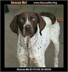 Banjo in Albuquerque― New Mexico German Shorthaired Pointer Rescue ― ADOPTIONS ―RescueMe.Org