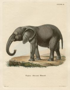 Elephant, German copper-line engraving with original hand-colouring, 1775. $180