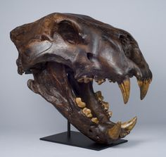 American Lion Skull, Tarpit finish (Replica) The American lion is the one of the largest lions to have ever existed, with estimates of its weight reaching 300 kg.  This museum quality Bone Clones replica is exactingly cast from an outstanding natural specimen, and hand-finished to match the original. Made in California using polyurethane resin to capture the finest details. #boneclones